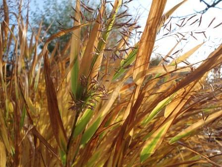 herfstkleur siergras