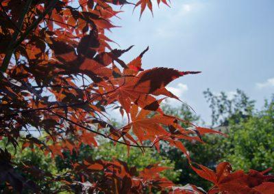 Japanse esdoorn - Acer japonicum