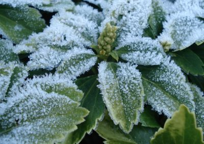 klassieke voortuin Woerden - wintergroene Pachysandra