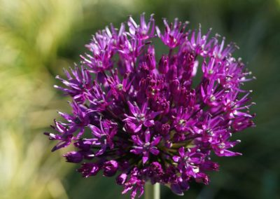 tuinarchitect Woerden - Allium