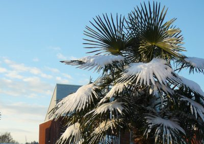 winterharde palmboom Trachycarpus fortunei