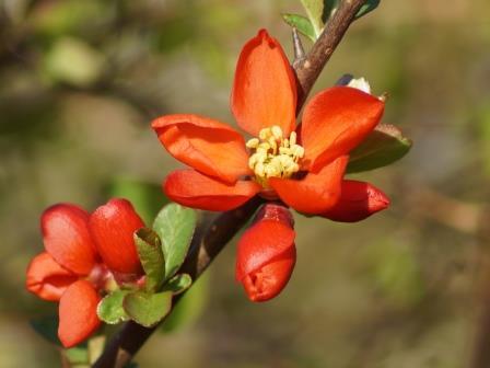 voorjaarsbloeiende struik snoeien
