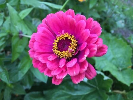 tuinkalender zomerbollen Dahlia