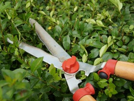 tuinkalender hagen snoeien