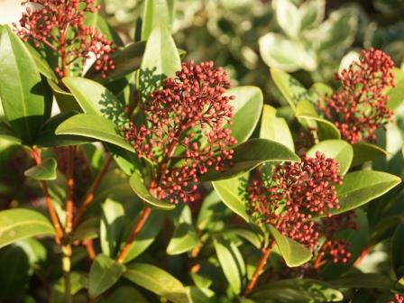 tuinkalender groenblijvende struik snoeien