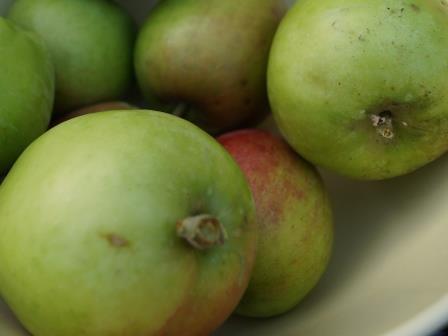 fruit snoeien