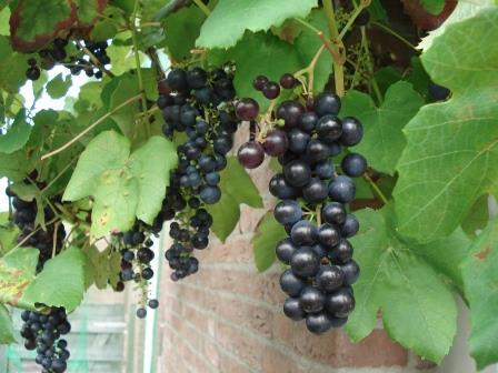 druif - tuinkalender